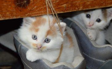 Vanaf 1 november 2017 geldt er een identificatie- en registratieplicht voor alle katten in Vlaanderen.